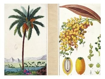 date-tree-and-fruitearly-nineteenth-century-giclee-print-c12063427.jpg
